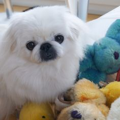Animals And Pets, Cute Animals, Pekingese Dogs, Japanese Chin, Teacup Puppies, African American History, Tony Stark, Doggies, Fur Babies