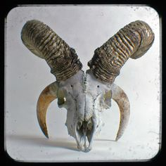 jacob sheep skull - Поиск в Google