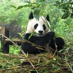 Panda I'm om nom nom