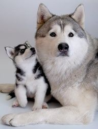 ¡Huskies!