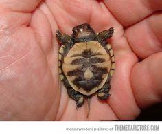 Newborn baby turtle. Can you say awwwwwwww!!!!