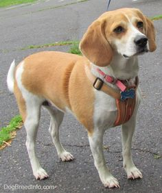 Beagle Information and Pictures, Beagles