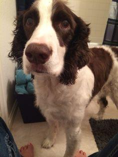 Spaniel Dog, Spaniels, English Springer Spaniel, Fluffy Animals, Bath Time, Puppy Love, Doggies, Puppies, American
