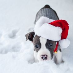 American Pit Bull Terrier Merry Happy Christmas Day Card Puppy Holiday Dogs Santa Claus Dog Puppies Xmas #MerryChristmas Pitbulls