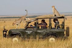 Cheetah family climbs Land Rover for a better view - Africa Geographic Cheetah Family, Landrover, Viewing Wildlife, Out Of Africa, Land Rover Defender, Defender 110, Cheetahs, African Safari, Nice View