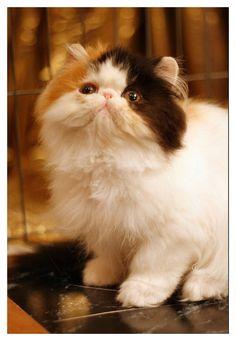 Persian kitten by Bunnybunbunbunee.deviantart.com on @deviantART