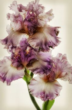 Frilly iris my mother had these in her garden in Murray, UT. We would cut them for memorial day each year to take to Joy's and Virginia's graves.