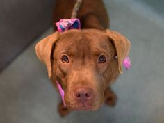 SAFE --- SUPER URGENT - 11/25/14 Brooklyn Center  *****  My name is CHOCOLATE. My Animal ID # is A1021194. I am a female brown pit bull and labrador retr mix. The shelter thinks I am about 2 YEARS   I came in the shelter as a STRAY on 11/20/2014 from NY 11434, owner surrender reason stated was STRAY.  https://www.facebook.com/photo.php?fbid=911160512230162%2F