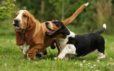 Download wallpapers Basset Hounds, lawn, family, cute animals, pets, dogs, Basset Hounds Dog