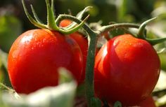Eight OSU-developed tomatoes to try. KP KP KP