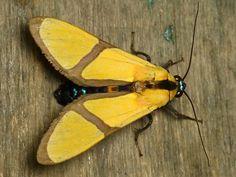 Tiger moth, Ormetica ameoides