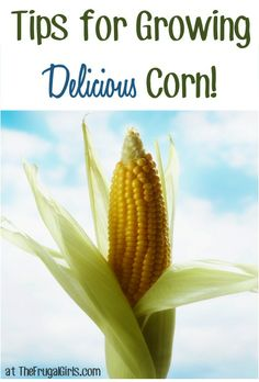 need to find heirloom seeds first  :) 14 Tips for Growing Delicious Corn! ~ from TheFrugalGirls.com
