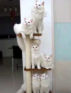 A tower of white Forest cats. How lovely is that?