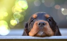 Little Gordon Setter Dog