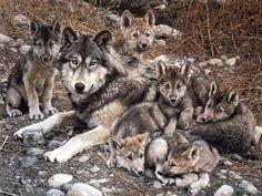 LOBATOS (crías de lobo)