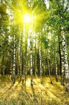 Stock Bild von 'Birken im Sommer oder Herbst Wald'