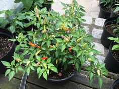 Basket of Fire Chili Pflanze Capsicum Annuum, Chilis, Basket, Stuffed Peppers, Plants, Red Peppers, Nature, Lawn And Garden, Plant
