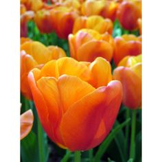 daydream tulip images | King Size Collection - FlowerBulbs Holland B.V.