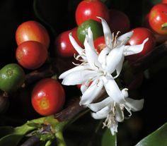 Coffee flowers in the late monsoon rain. #thecoffeelocator