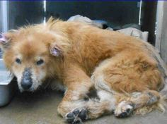 GIDEON's STORY: 9/23/16 An ailing senior dog, held at the County of Orange – OC Animal Care facility in California, is desperately in need of help. The dog, a Chow Chow believed to be 12 years of age, obviously is in need of veterinary care – he arrived to the facility on September 19 and medical notes indicate …