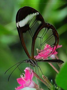 "our-amazing-world: ""Glass-winged butterf Amazing World beautiful amazing """