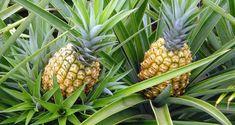 abacaxi ajuda a saciar a fome
