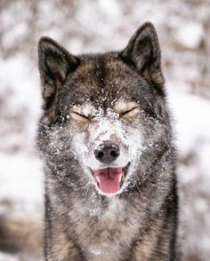 Wolf look-alike Siberian Husky ( Wolf Photos, Wolf Pictures, Wolf Spirit, Spirit Animal, Beautiful Wolves, Animals Beautiful, Animals And Pets, Cute Animals, Wolf Husky