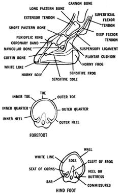 know your anatomy, know your horse. Good cheat sheet for vet classes