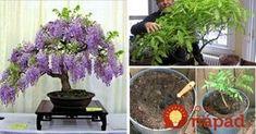 Vistériu však nemusíte pestovať len v zemi, ale aj v črepníku – na balkóne alebo na terase. Niektorí dokonca vistériu pestujú podobne ako bonsaj - v interiéri, alebo v zimnej záhrade. Poradíme, ako na to!