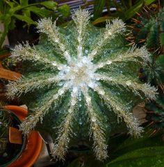 Notocactus magnificus in the rain