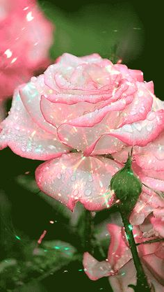 Beautiful Love Pictures, Beautiful Flowers Pictures, Beautiful Rose Flowers, Rose Pictures, Beautiful Gif, Exotic Flowers, Amazing Flowers, Rose Flower Wallpaper, Flowers Gif