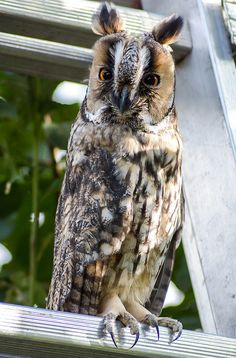 Different looking Owl