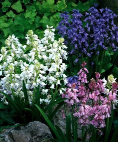 The Hyacinthoides hispanica Mixture - Hyacinthoides & Scilla - Flower Bulb Index