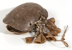 NATIVE AMERICAN TURTLE SHELL RATTLE