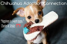 Effective Potty Training Chihuahua Consistency Is Key Ideas. Brilliant Potty Training Chihuahua Consistency Is Key Ideas. Chihuahua Love, Chihuahua Puppies, Cute Puppies, Cute Dogs, Funny Dogs, Funny Humor, Newborn Puppies, Gato Gif, New Puppy
