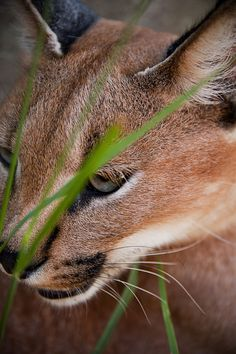 A portrait of a caracal, also known as the desert lynx. Taken at the Emdoneni Cat Rehabilitation Centre in South Africa.