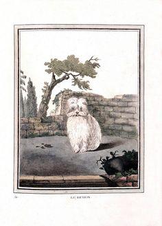 """Le Bichon"", 1753, from the ""Collection des Animaux Quadrupèdes"" volume of the encyclopedia 'Histoire Naturelle,"" by naturalist Georges-Louis Leclerc, Comte de Buffon. #art #illustrations #dogs #French #1700s"