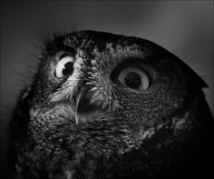 Classic - Owls with Stupid Expressions on their Faces (via @Sha Hwang)