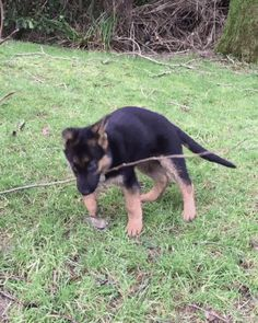 How can I tear this branch #branch #dog #play