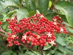RED LEEA / LÉA VERMELHA  ( Leea guineensis )