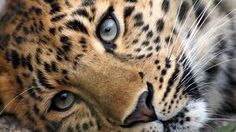 Pictures Around the World: Amazing Leopards wallpaper