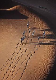 Gemsbok (Oryx gazella) herd in Namibia, Africa. The gemsbok (Oryx gazella) live in savannas of South East Africa _ Nyársas antilop (Oryx gazella) csorda, Namíbiában, Afrikában. A nyársas antilop Délkelet-Afrika szavannáin él_photo by Martin Harvey Aerial Photography, Amazing Photography, Nature Photography, Deserts Of The World, Foto Poster, Desert Life, Birds Eye View, Belle Photo, Beautiful World