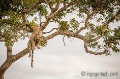Mein Sehnsuchtsbild an einem grauen Novembertag.   Fotografiert in der Masai Mara in Kenia.    Mehr Bilder:  www.ingogerlach.com