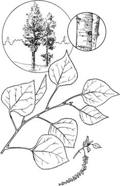 Aspen Leaf My Next Tattoo In Some Shape Or Form But
