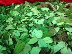 Hojas de Coca (Coca Leaves)