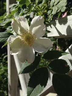 Rosa pimpinellifolia spinosissima