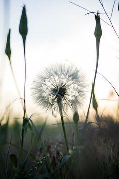 dandelion via Flickr