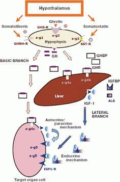 FISIOLOGIA, SECREÇÃO E REGULAÇÃO DO GH-HORMÔNIO DE CRESCIMENTO
