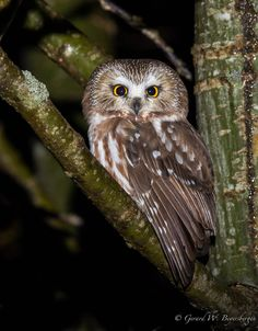 Northern Saw-whet Owl..