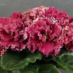 Repost fialkovod  AV-Red Carnation, АВ-Красная Гвоздика #flowers #flower #floral…